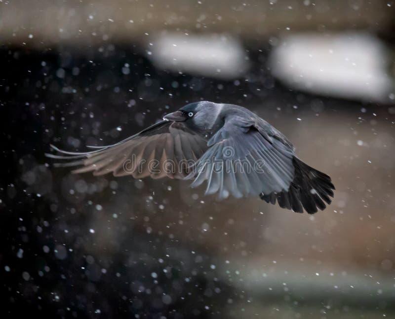 Cuervo del grajo que vuela en nevadas pesadas imagen de archivo libre de regalías
