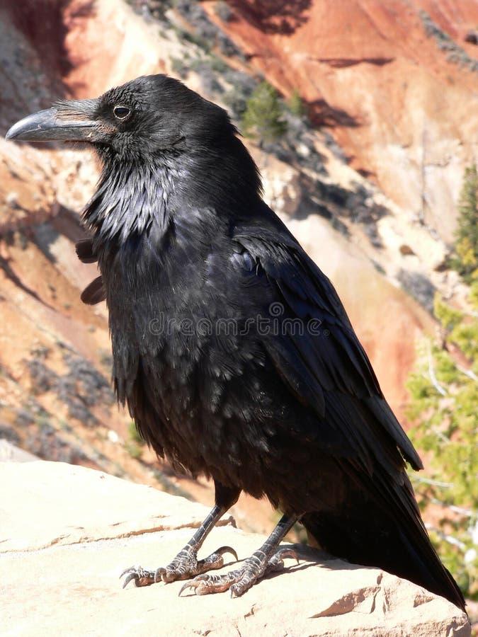 Cuervo en la barranca de Bryce imagenes de archivo