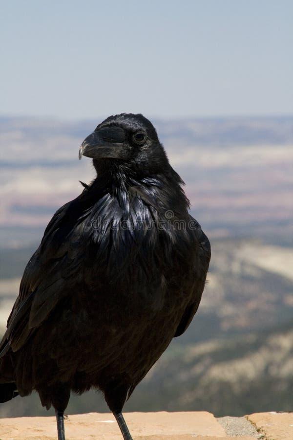 Cuervo en la barranca de Bryce foto de archivo