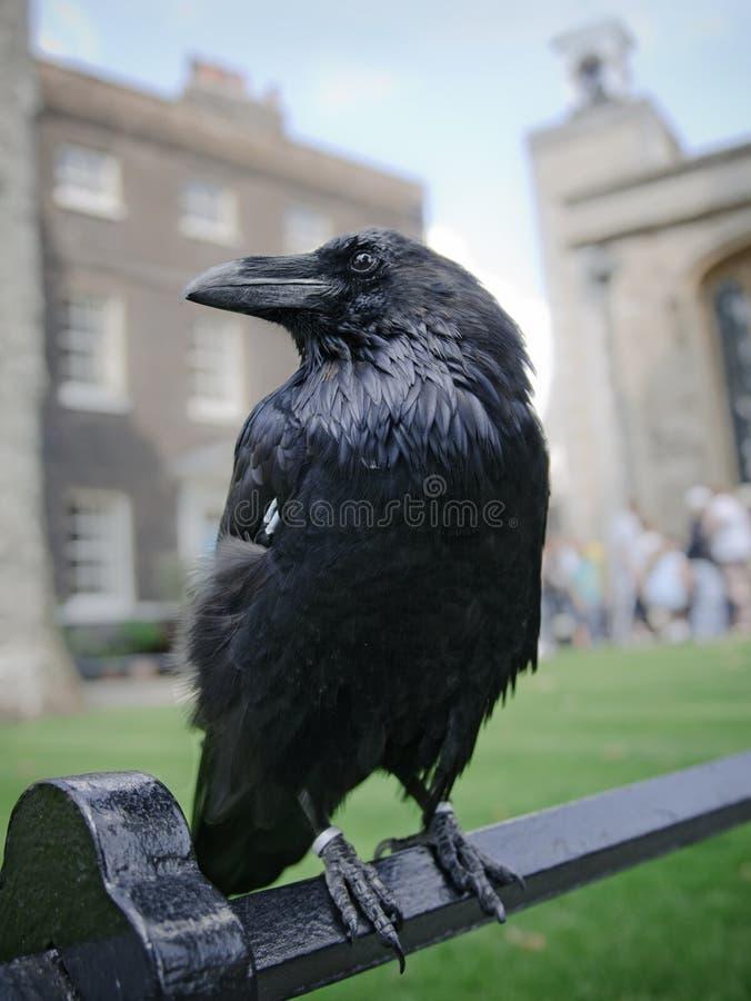 Cuervo En La Torre De Londres Imagenes de archivo