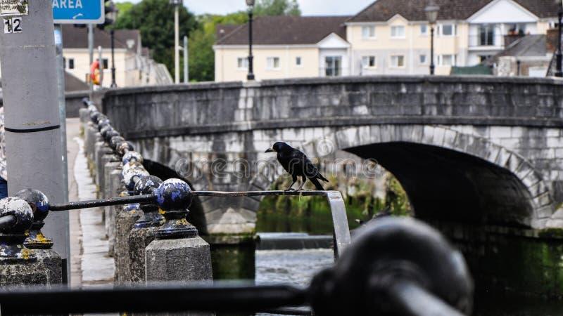 Cuervo en los carriles del puente foto de archivo