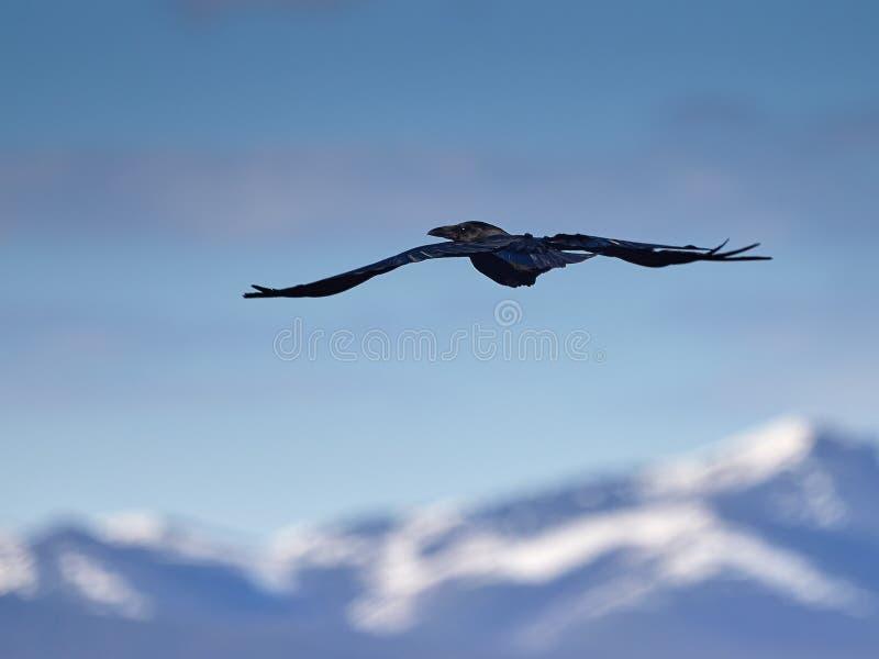 Cuervo en montañas fotografía de archivo libre de regalías