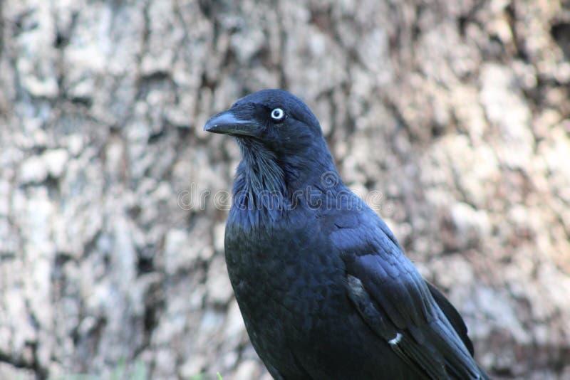 Cuervo en reyes Park- WA fotos de archivo