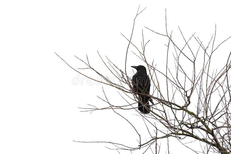 Cuervo en un árbol aislado en blanco imágenes de archivo libres de regalías