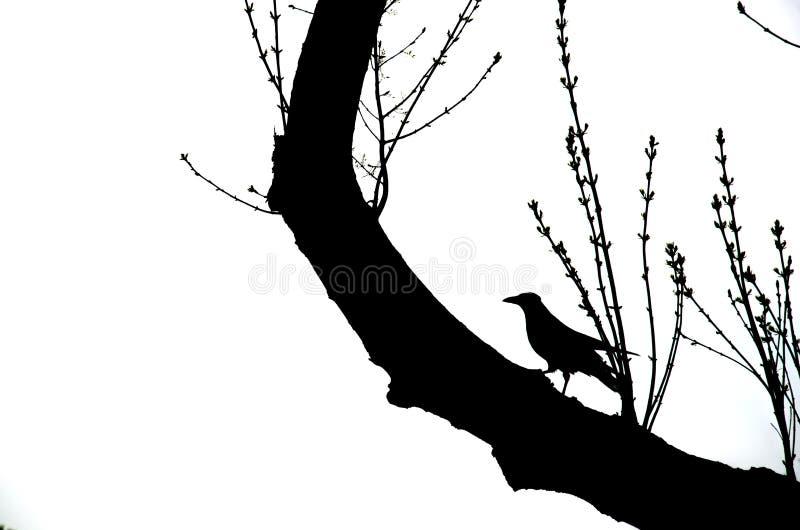 Cuervo en una rama fotografía de archivo libre de regalías