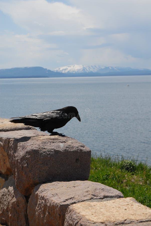 Cuervo en una roca fotografía de archivo libre de regalías