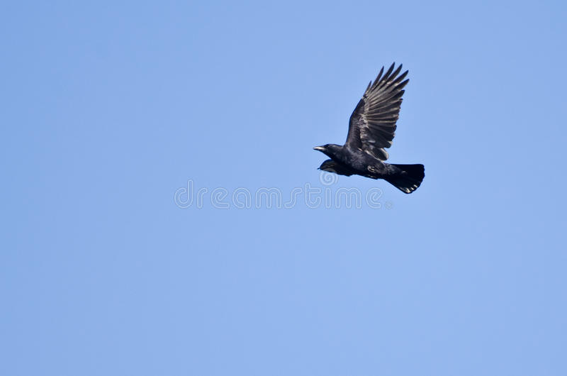 Cuervo en vuelo en un cielo azul imagenes de archivo