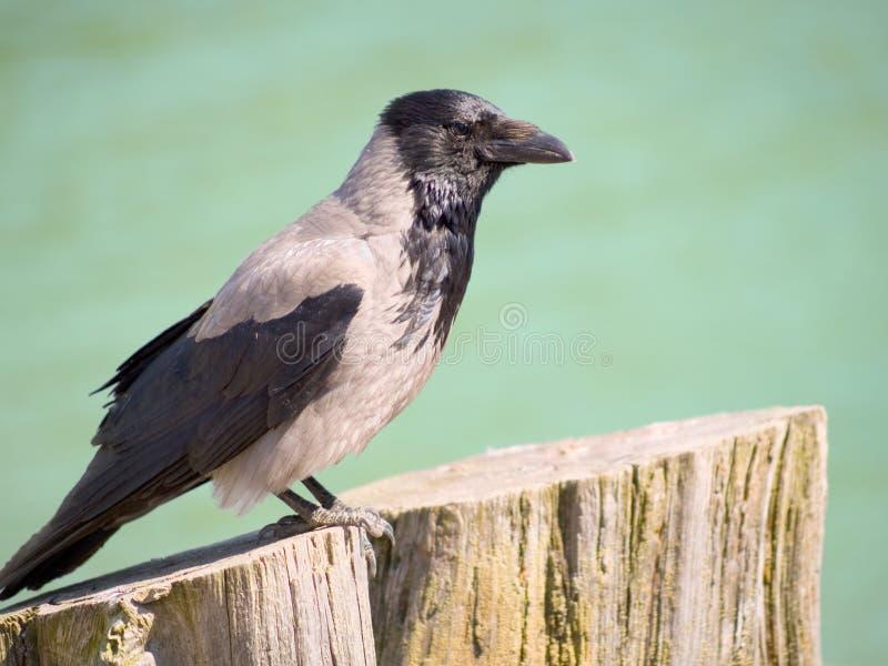 Cuervo encapuchado fotografía de archivo