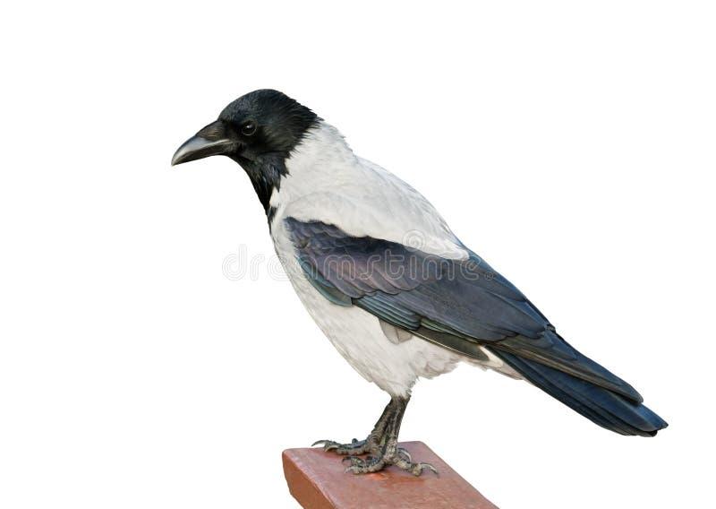 Cuervo encapuchado aislado fotografía de archivo
