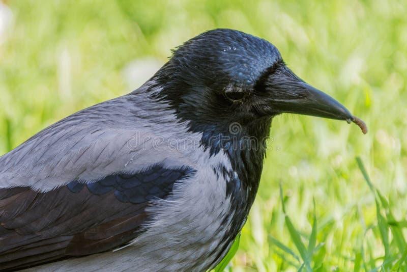 Cuervo encapuchado con el primer del gusano foto de archivo