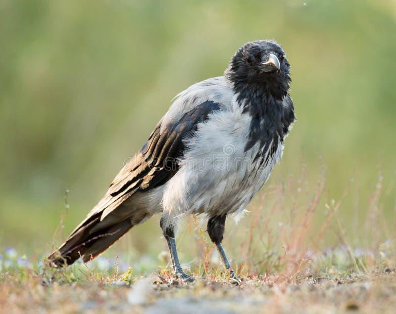 Cuervo encapuchado, cornix del corone del Corvus imagen de archivo libre de regalías