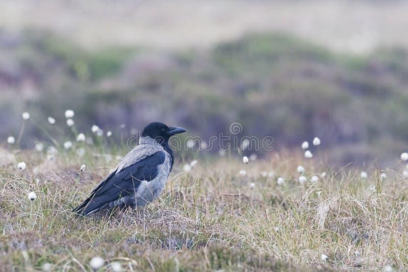Cuervo encapuchado, cornix del Corvus, en campo abierto fotografía de archivo libre de regalías