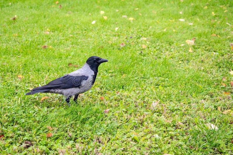 Cuervo encapuchado, cornix del Corvus en un fondo de la hierba verde con y fotos de archivo libres de regalías
