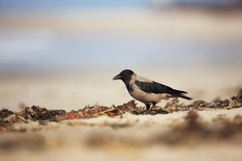 Cuervo encapuchado Cornix del Corvus Pájaro de tamano medio Se separa en Europa imagenes de archivo