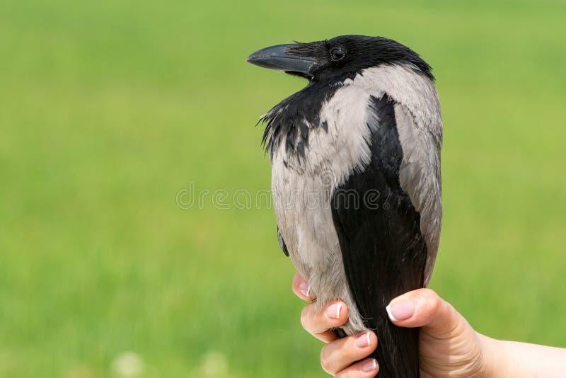 Cuervo encapuchado, cornix del corvus P?jaro en las manos del hombre imagen de archivo