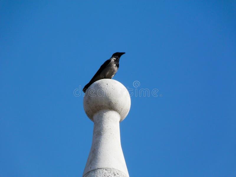 Cuervo encapuchado en el ambiente urbano encima de la torre de piedra imagen de archivo