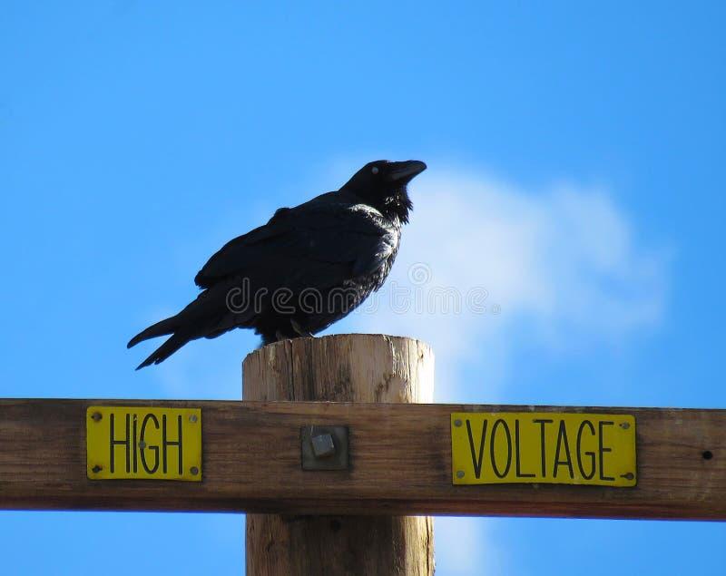 Cuervo encaramado en el poste de la electricidad imagenes de archivo