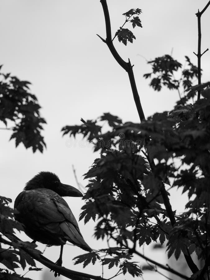 Cuervo encaramado en una rama de árbol fotografía de archivo libre de regalías