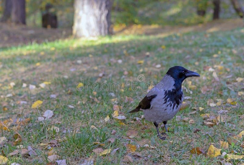 Cuervo entre la hierba y las hojas amarillas en el parque de la ciudad fotografía de archivo