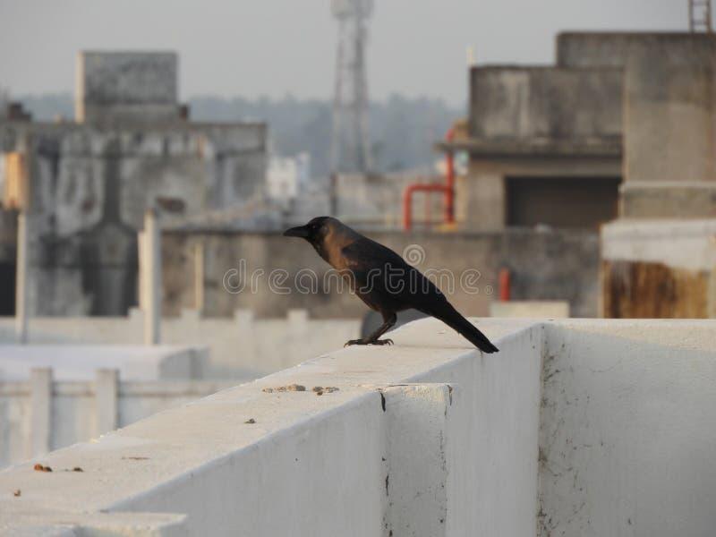 Cuervo gris fotografía de archivo libre de regalías