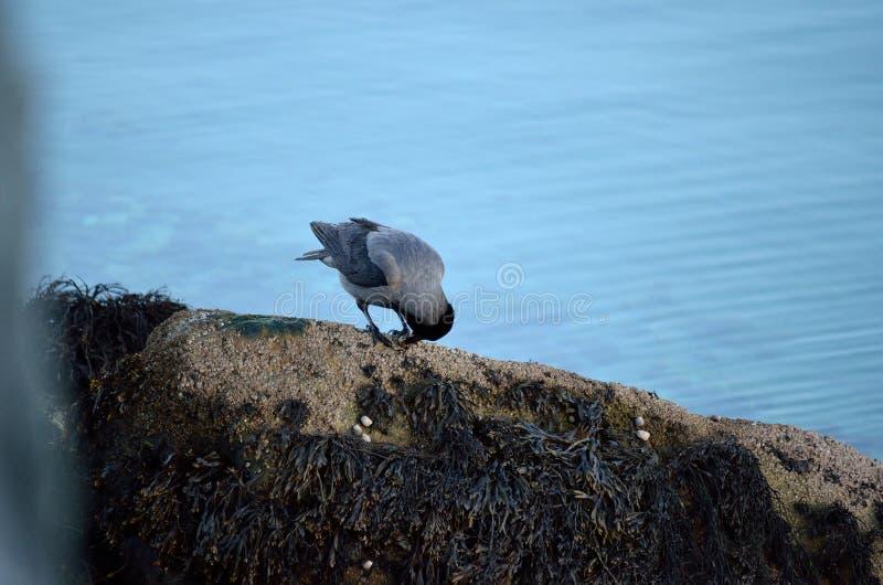Cuervo gris y negro que alimenta en caracol imágenes de archivo libres de regalías