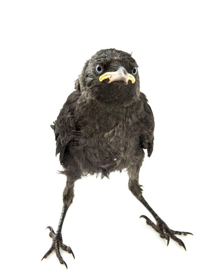 Cuervo joven foto de archivo