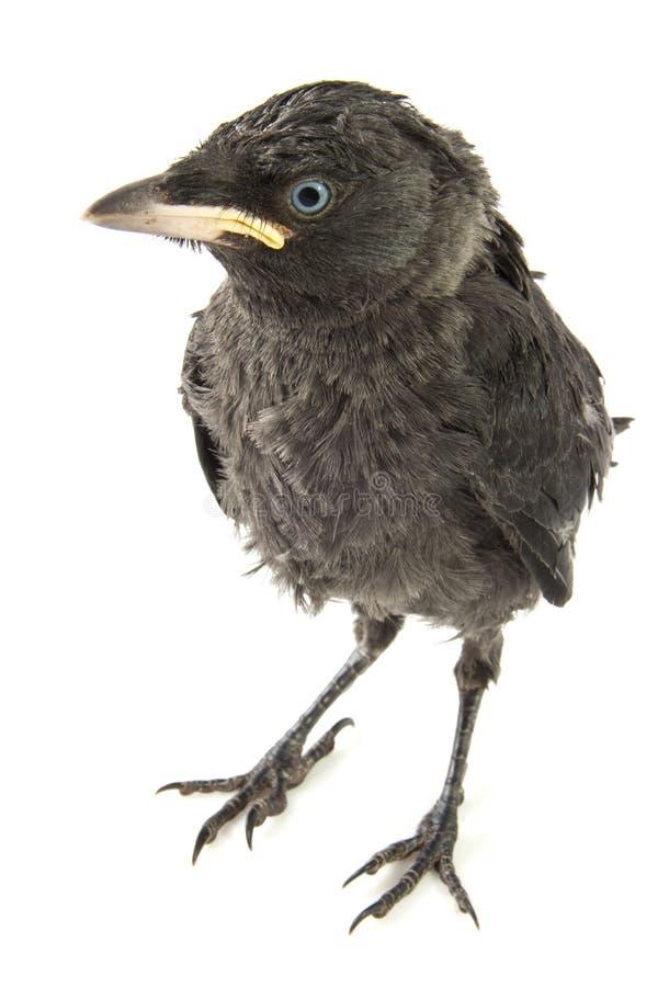 Cuervo joven imagenes de archivo