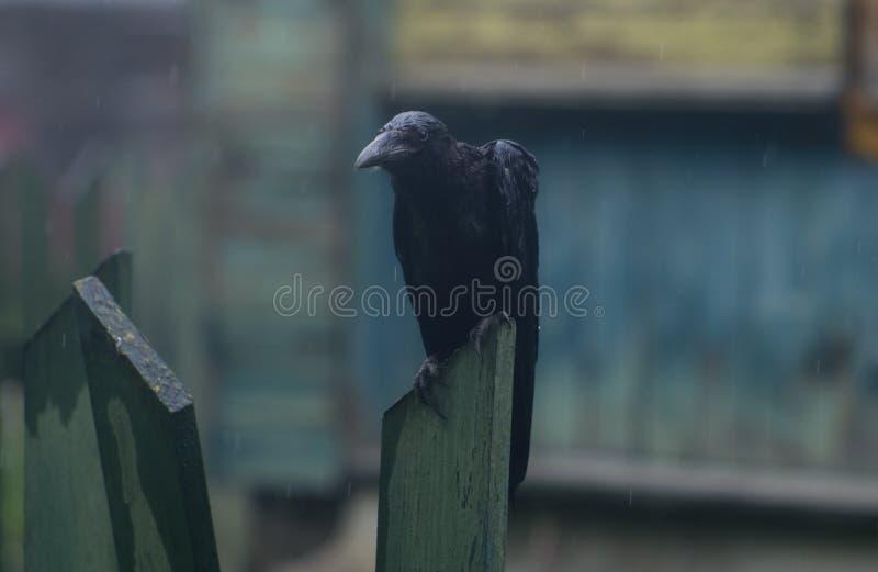 Cuervo mojado imagen de archivo libre de regalías