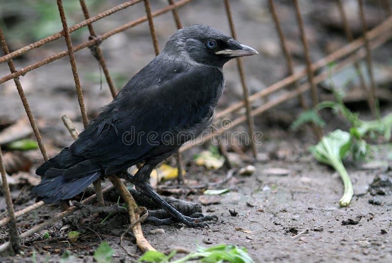 Cuervo negro foto de archivo