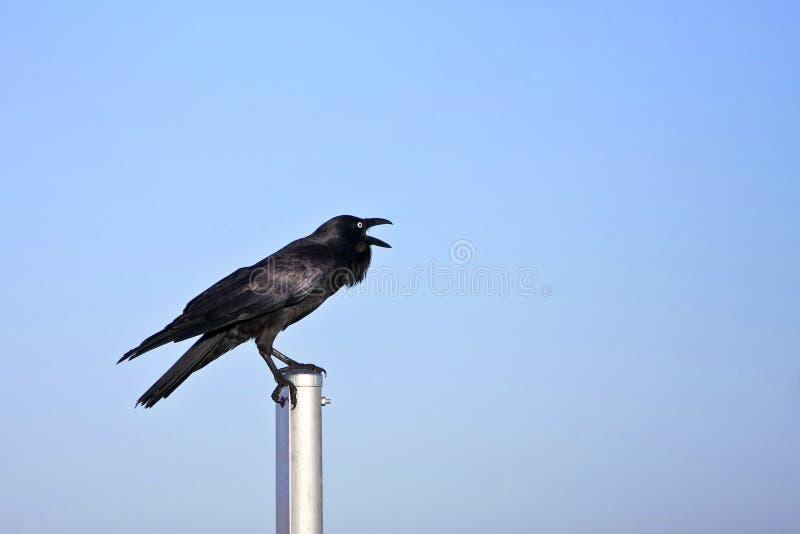 Cuervo negro adulto que llama ruidosamente fotos de archivo libres de regalías