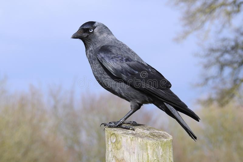 Cuervo negro con el ojo amarillo claro fotografía de archivo
