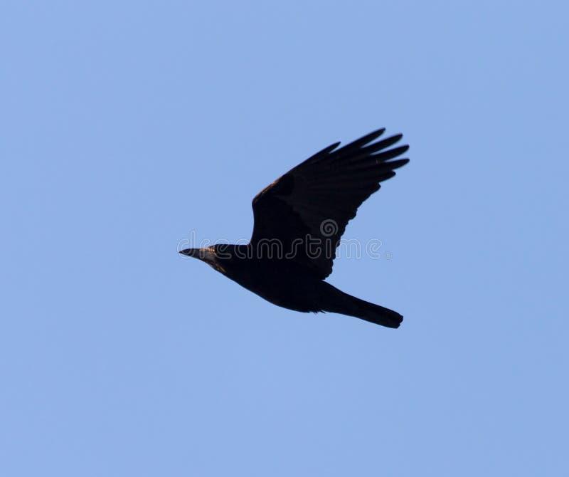 Cuervo negro en el cielo azul en vuelo imagen de archivo libre de regalías