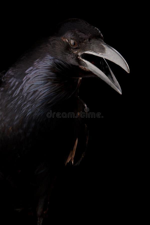 Cuervo negro en negro fotografía de archivo libre de regalías
