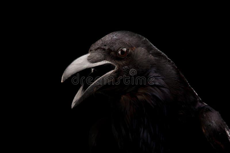 Cuervo negro en negro fotos de archivo libres de regalías