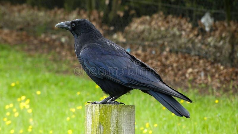 Cuervo negro en posts imagenes de archivo