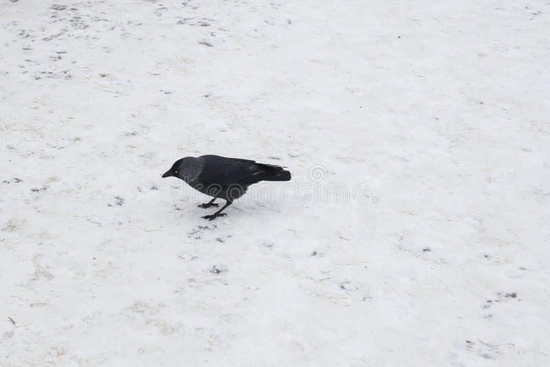 Cuervo negro en una nieve blanca fotografía de archivo