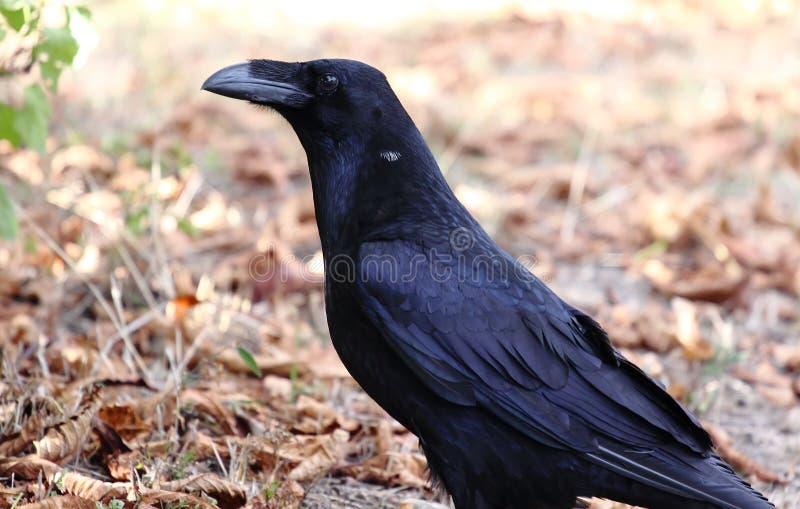 Cuervo negro grande foto de archivo