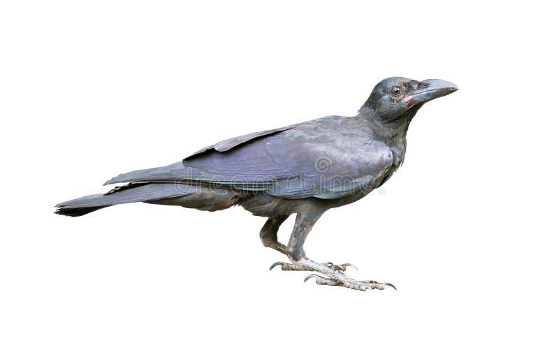 Cuervo negro joven. fotos de archivo libres de regalías