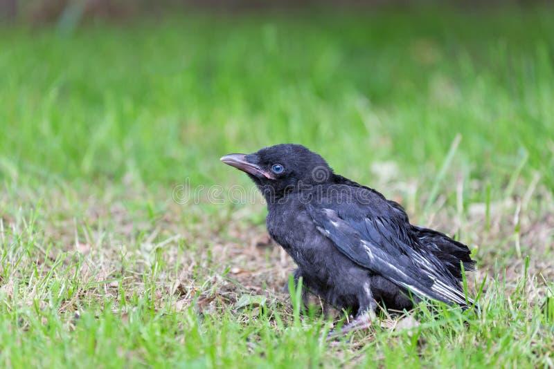 Cuervo negro joven que se sienta en hierba verde fotos de archivo libres de regalías