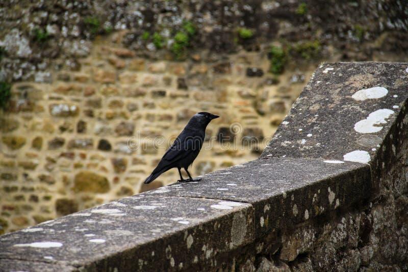 cuervo negro que se inclina en cornisa y con la pared de piedra en el fondo fotos de archivo libres de regalías