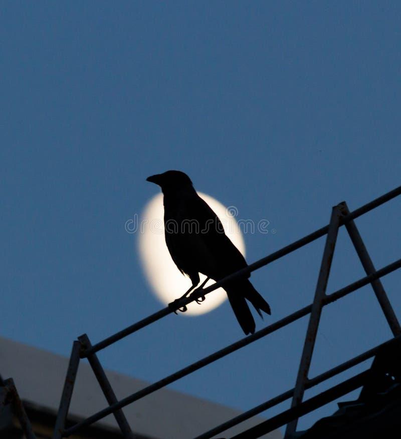 Cuervo negro que se sienta en el tejado y los croares contra la Luna Llena en la noche foto de archivo