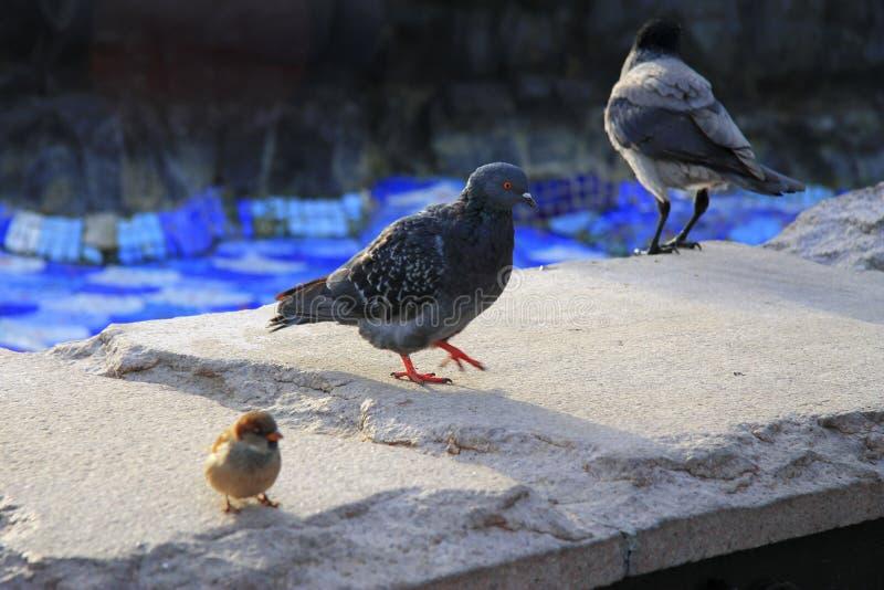 Cuervo negro y paloma que caminan en la piedra imagen de archivo