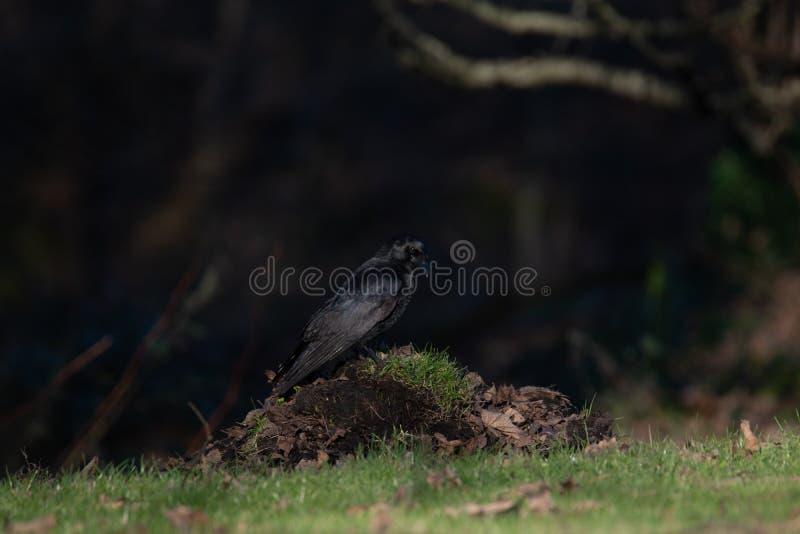 Cuervo North Yorkshire Reino Unido fotos de archivo