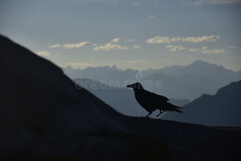 Cuervo que camina en el top del pico alrededor de la góndola en Rocky Mountains, parque nacional de Banff, Alberta, Canadá de Ban fotografía de archivo
