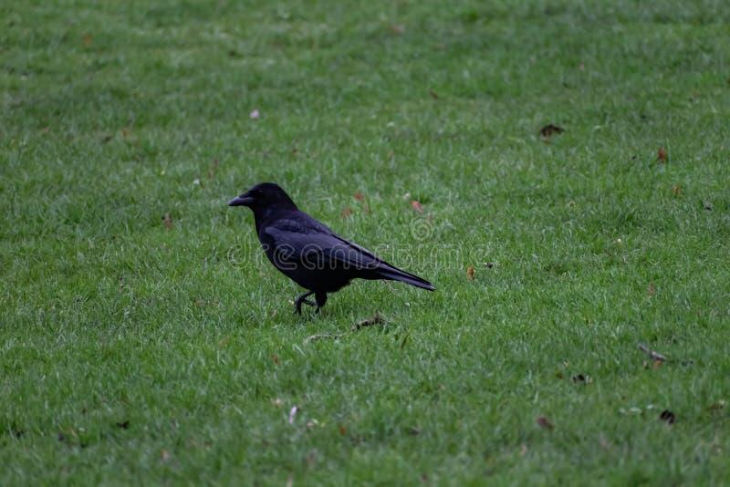 Cuervo que camina en la hierba foto de archivo