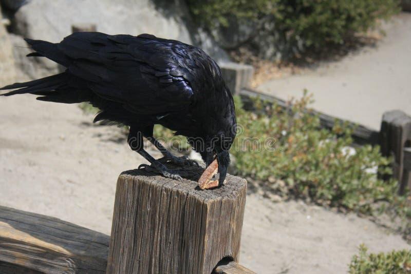 Cuervo que come el pan fotos de archivo