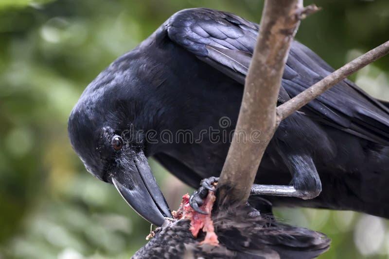 Cuervo que come la carroña fotografía de archivo