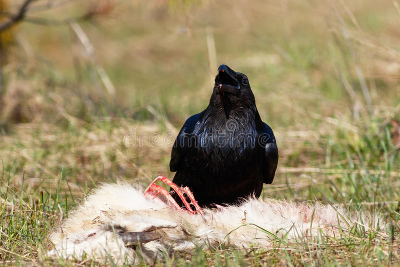 Cuervo que come su presa imagen de archivo libre de regalías