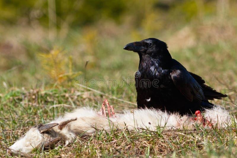 Cuervo que come su presa imagenes de archivo
