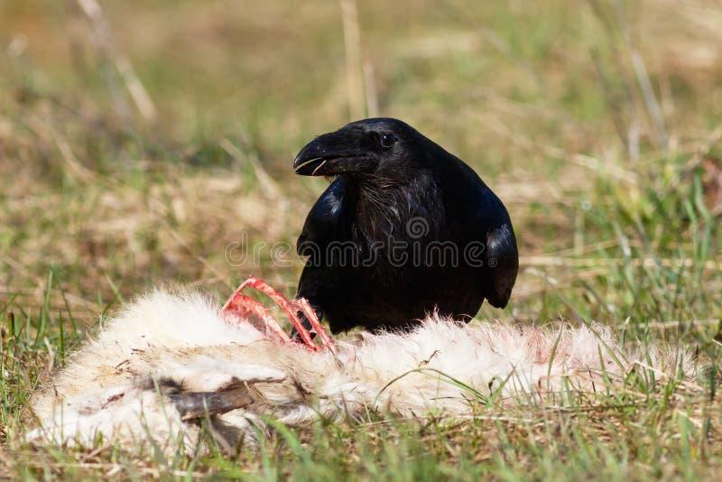 Cuervo que come su presa fotografía de archivo libre de regalías